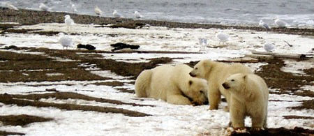 Polar Bear sow and two cubs on the Beaufort Sea coast